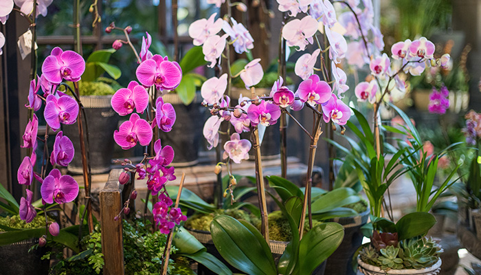 An image of pink and light pink orchids