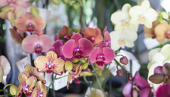A close up image of a pink orchid in the Garden Room