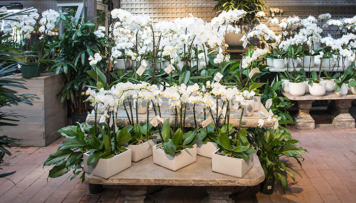 An image of multiple white orchids
