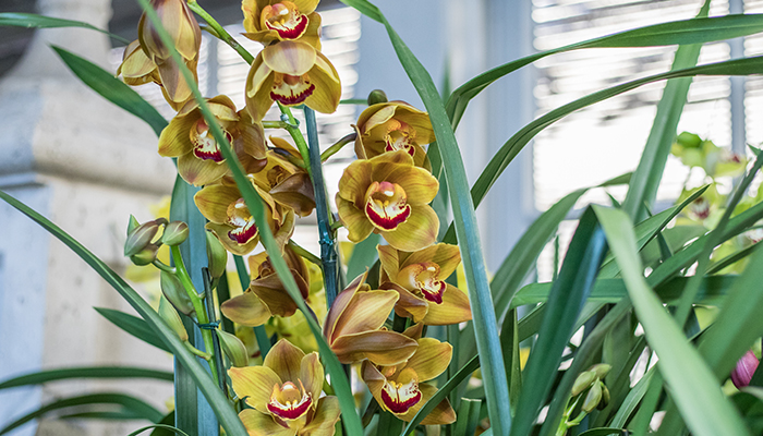 An image of a yellow orchid in the Garden Room