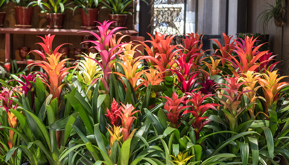 An image of pink, orange and yellow Bromeliad indoor plants