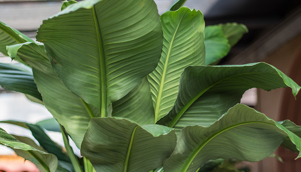 An image of a large leaf indoor plant