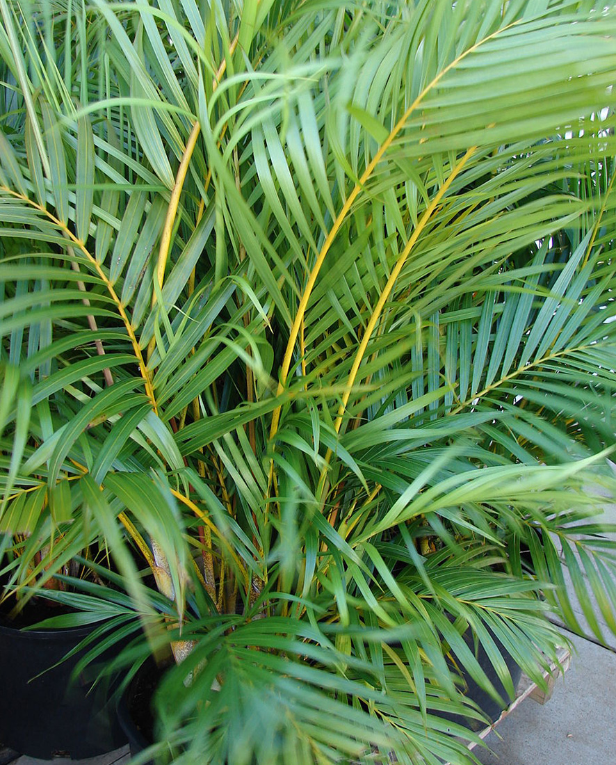 An image of a Areca Palm
