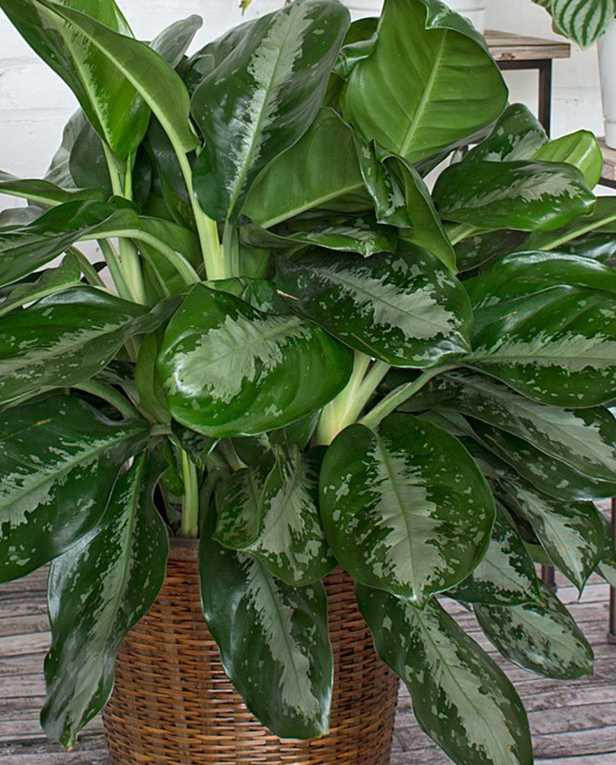An image of a Chinese Evergreen
