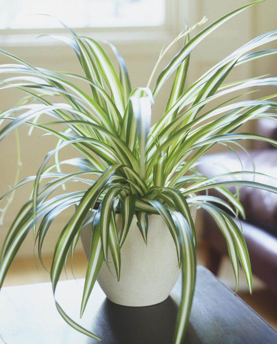 An image of a spider plant
