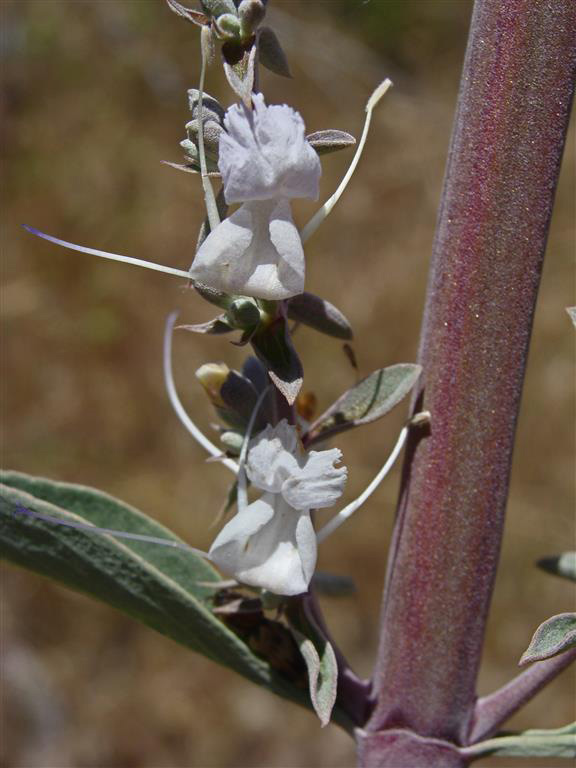 An image of white Salvia-apiana