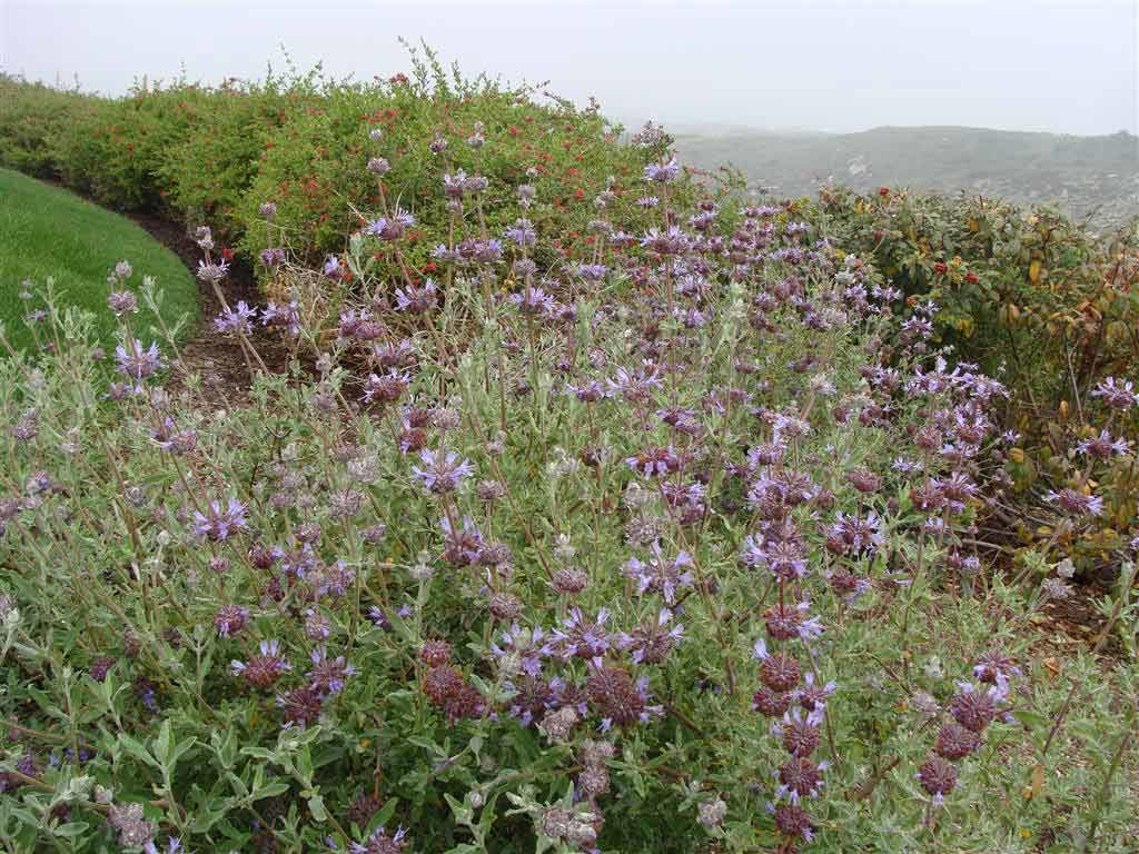 An image of purple Salvia-clevelandii