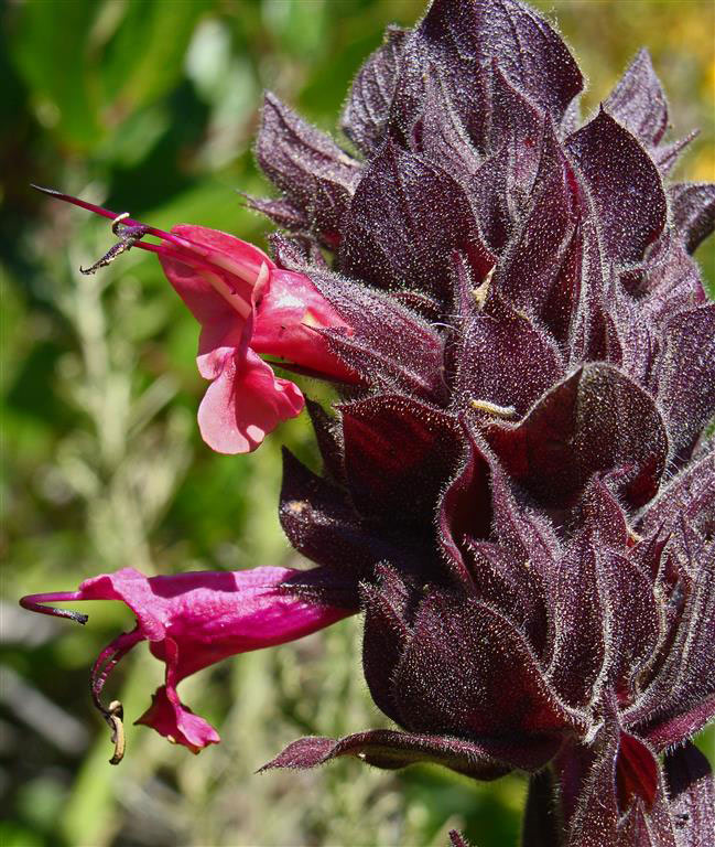 An image of a close up pink Salvia-spathacea