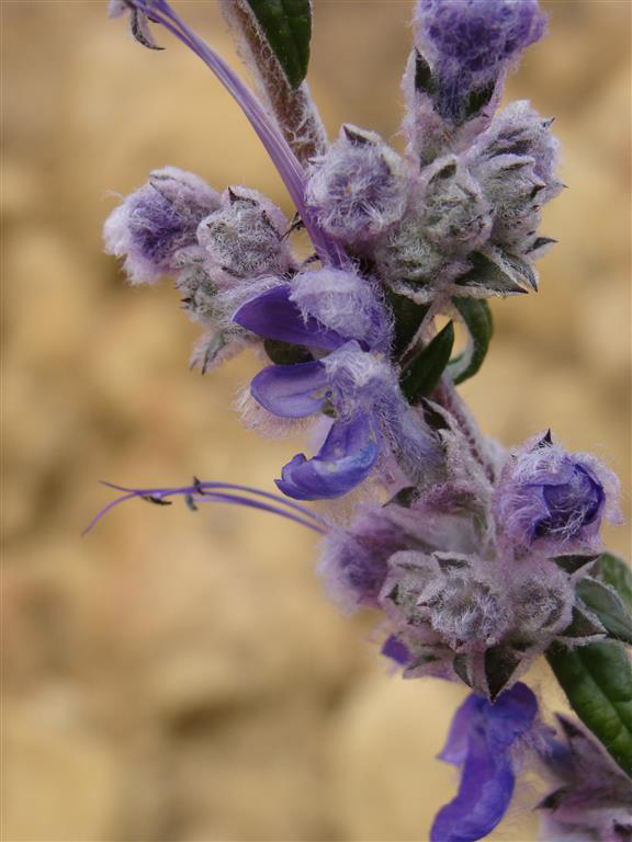 An image of a purple Trichostema-lanatum