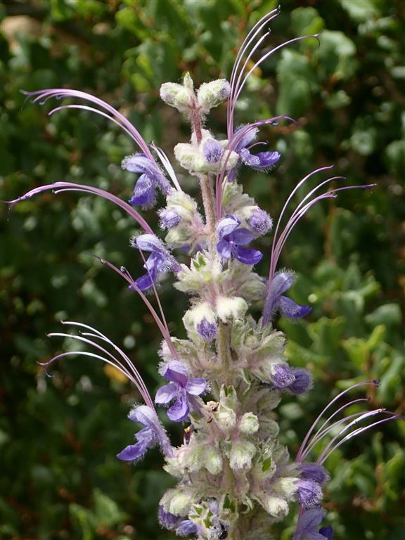 An image of purple Trichostema-lanatum