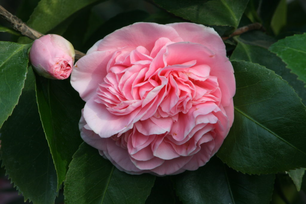 camellia, gardens, gardening, flowers, plants, january