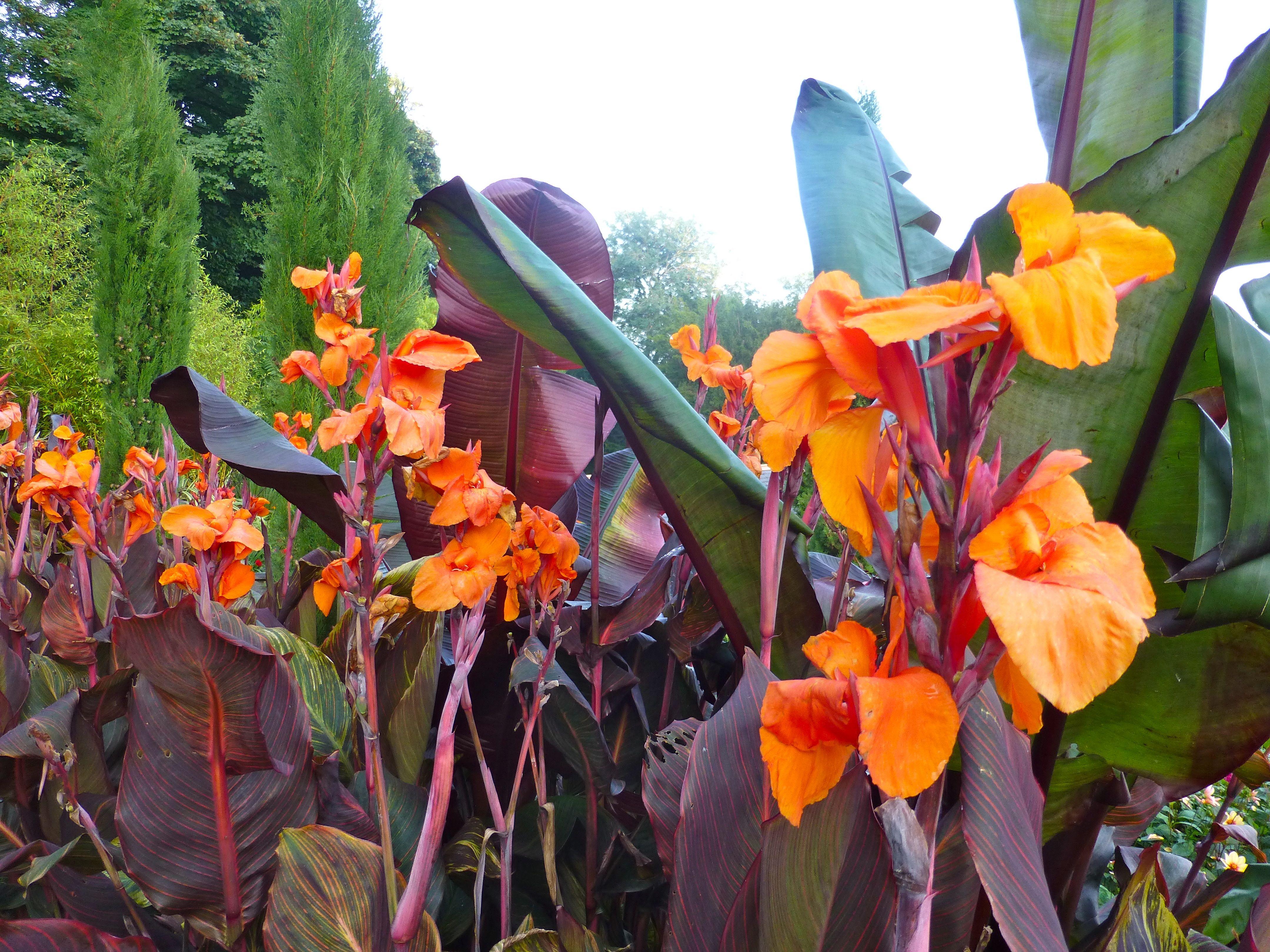 cannas, flowers, fertilizer, organic, gardening, garden, plant
