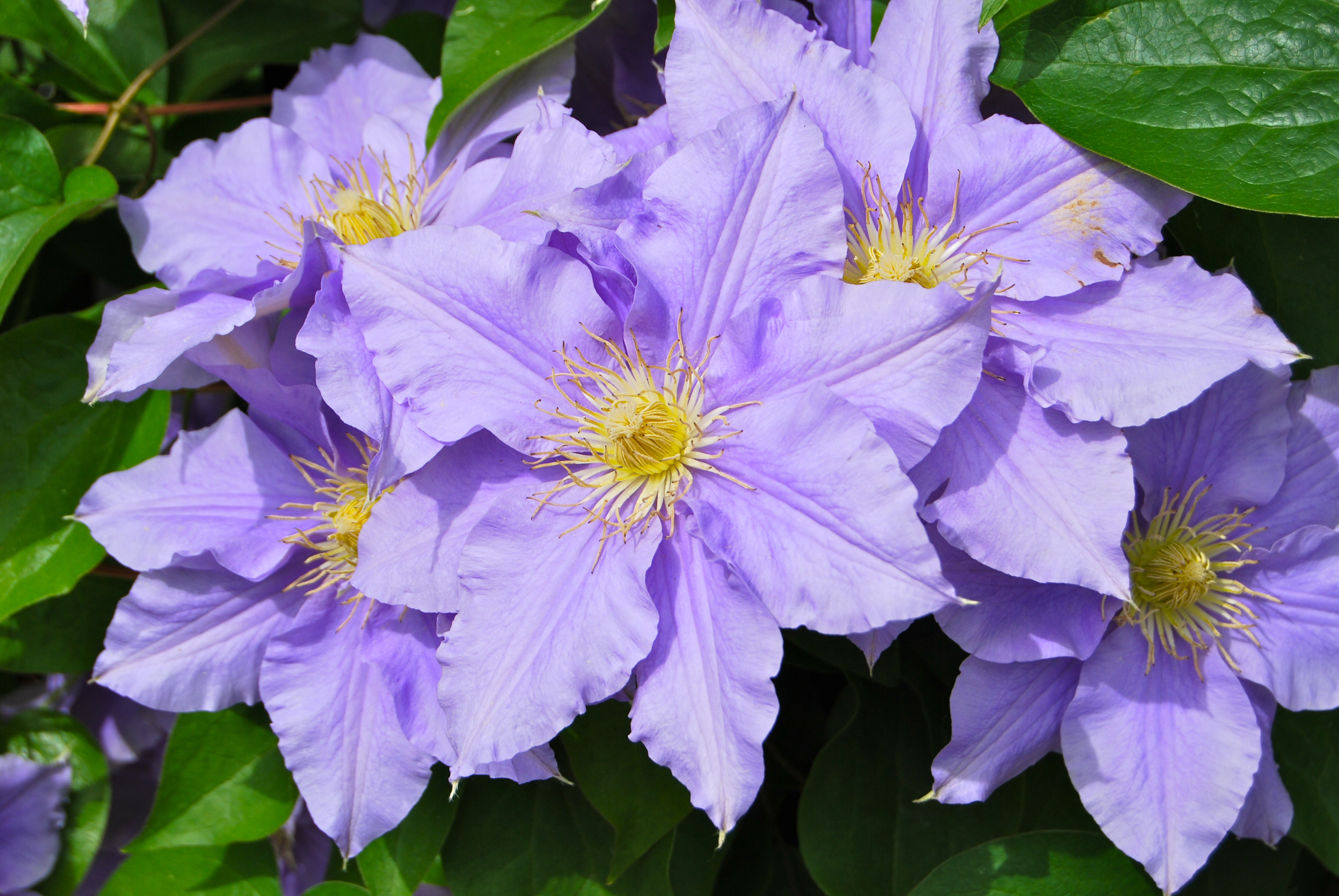 clematis, flower, vine, organic fertilizer, purple, bloom, grow