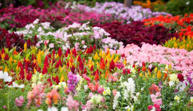 annuals, flowers, plants, gardening