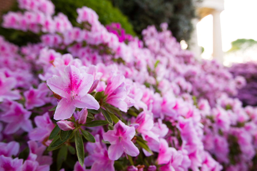 Azaleas, flowers, gardening, plants, january, gardens