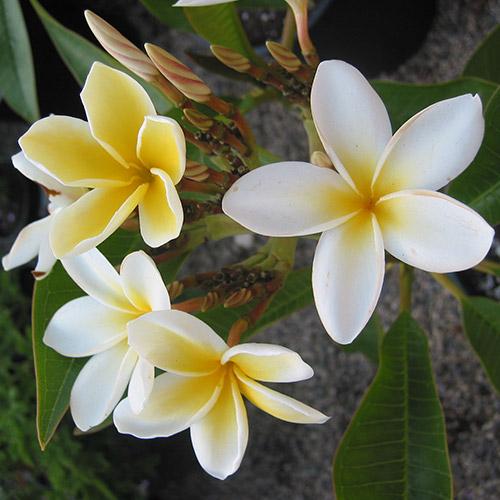 An image of four white yellow Hawaiian Yellow Plumeria