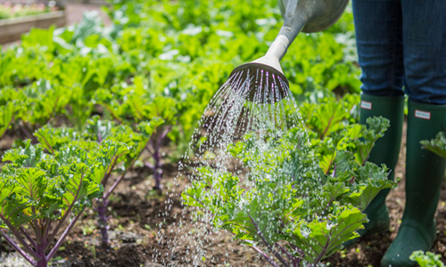An image of a gardener watering their crops with a watering can