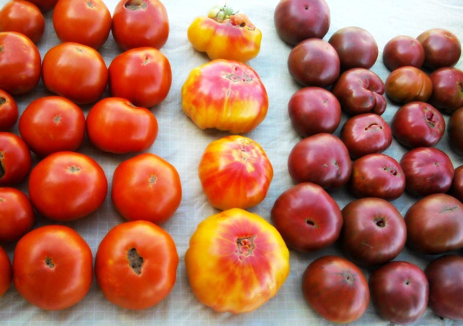 An image of heirloom tomatoes
