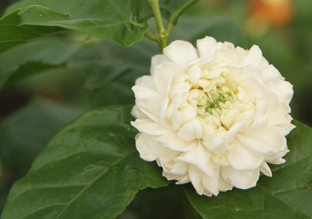 An image of a Grand Duke Arabian Jasmine