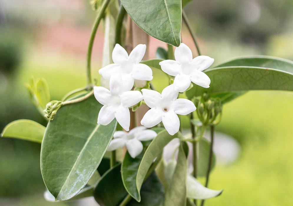 An image of a Madagascar Jasmine