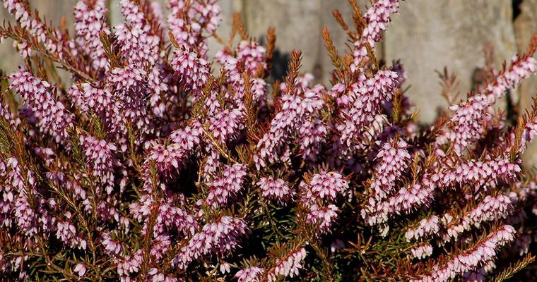 An image of flowering shrubs