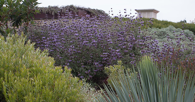An image of purple flowers for the California Native Garden seminar with James Maxwell