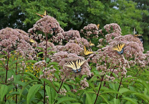 An image of butterflies on milkweed