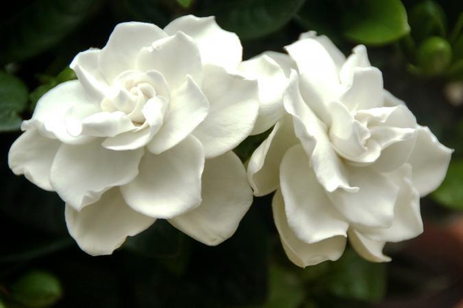 An image of two white gardenias