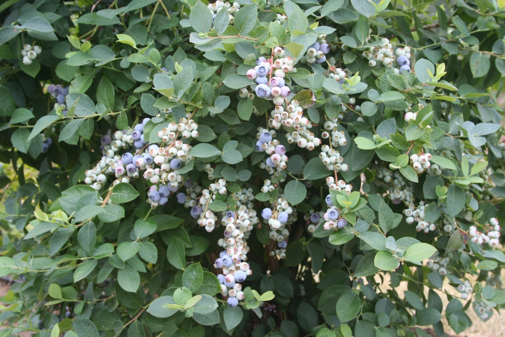 An image of a blueberry bush with flowers and ripe blueberries