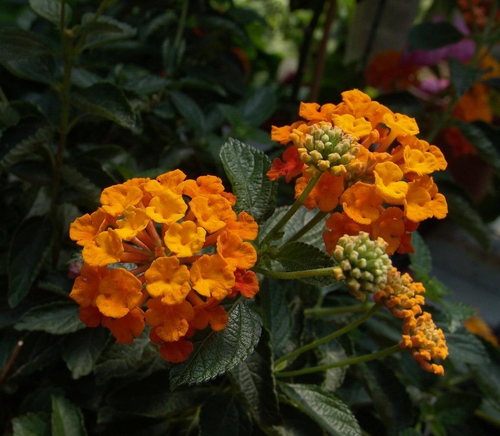 An image of orange milkweed