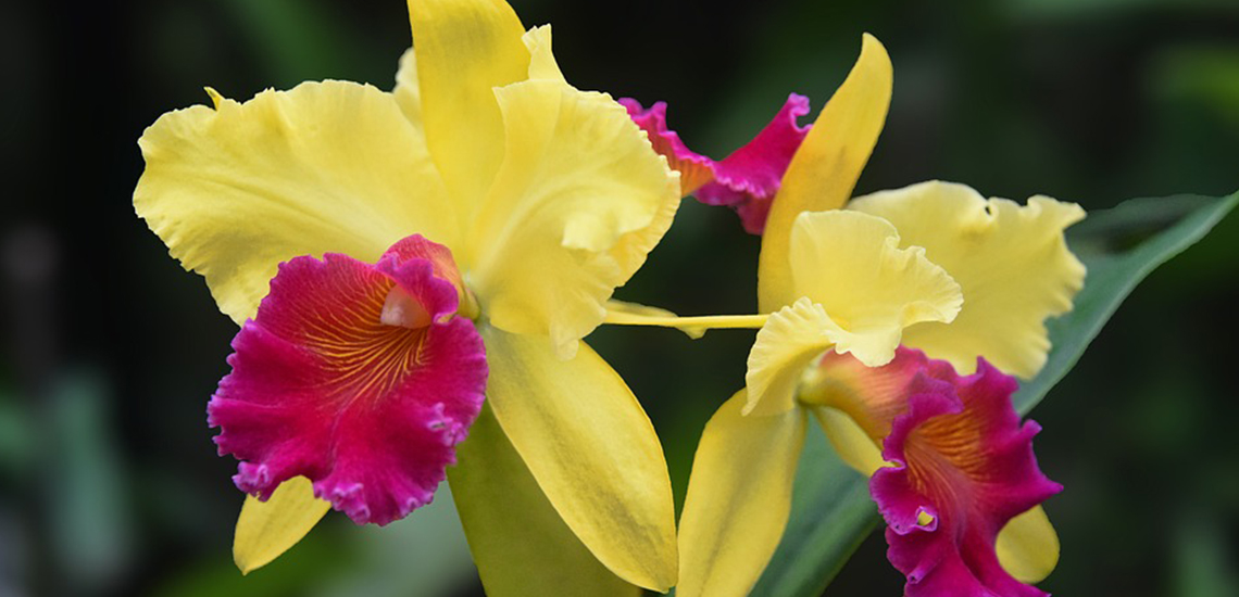 An image of a yellow pink Cattleya