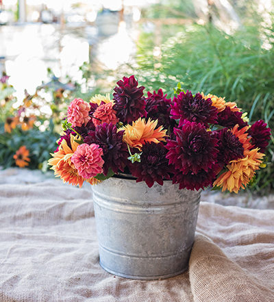 An image of pink, orange and dark red dahlias in a tin pot