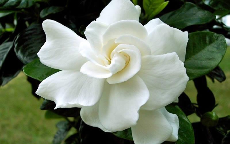 An image of a Gardenia
