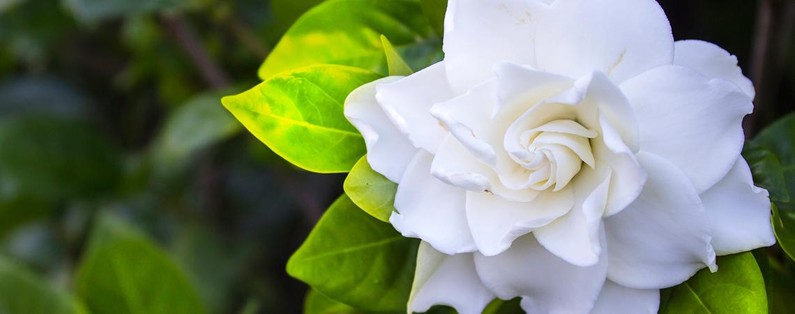 An image of a white gardenia