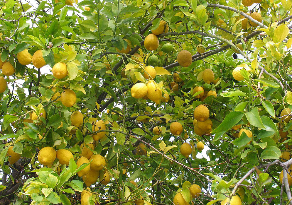 An image of an improved Meyer Lemons
