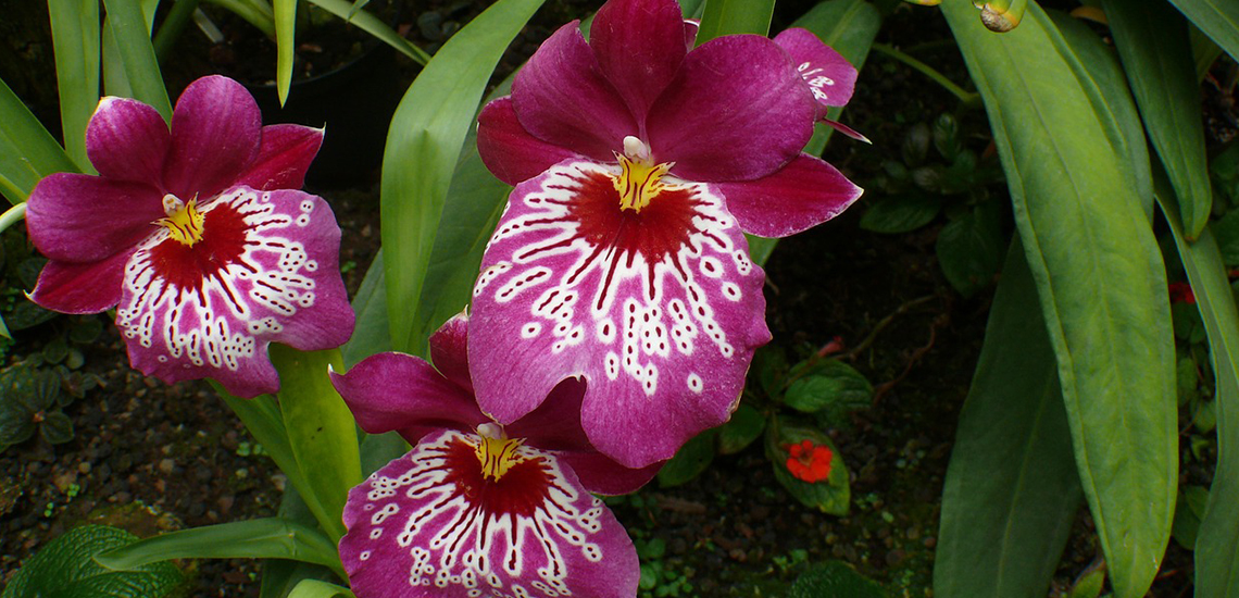 An image of a magneta miltonia pansy orchid