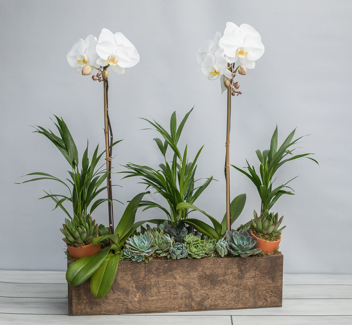 An image of two white orchids and succulents in a wooden box