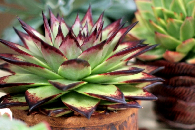 An image of a Echeveria agavoides 'Ebony'