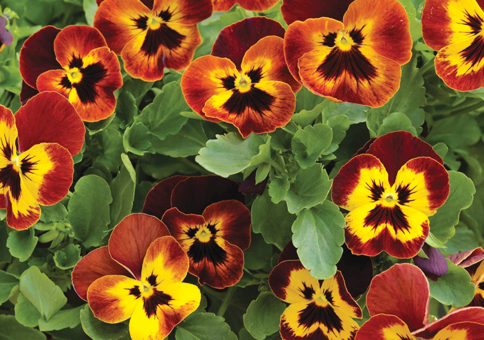 An image of red, orange and yellow pansy