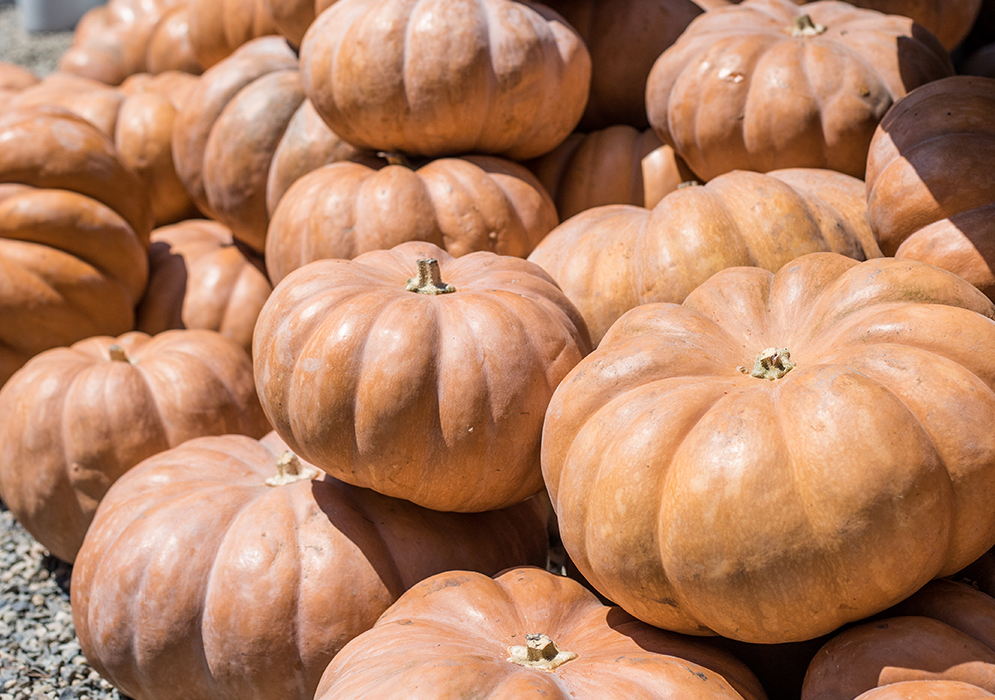 An image of heirloom orange pumpkins
