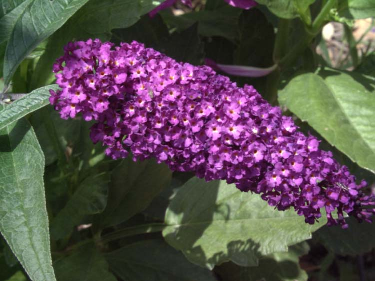 An image of purple buddleia royal red