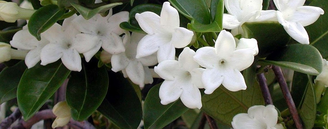 An image of white jasmine