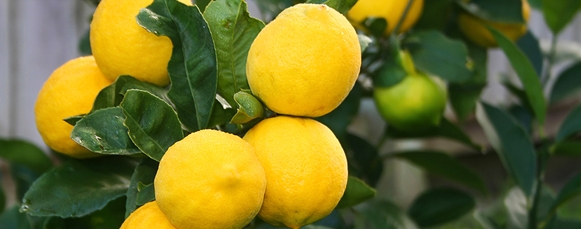 An image of meyer lemons