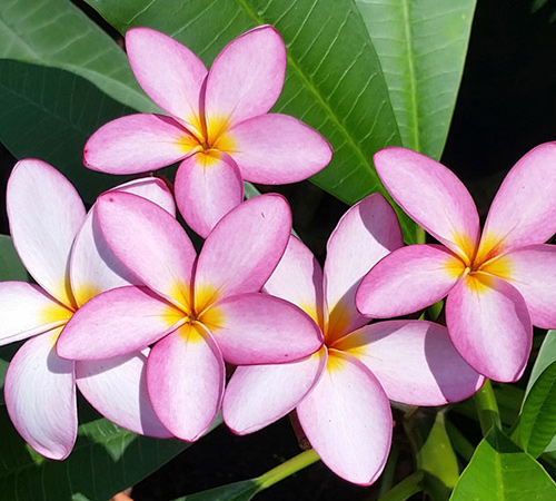 An image of a pink purple plumeria