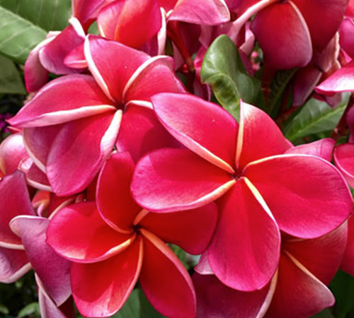 An image of a pink red plumeria