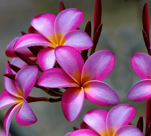 An image of a pink plumeria