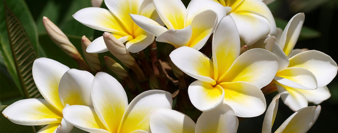 An image of a white yellow plumeria