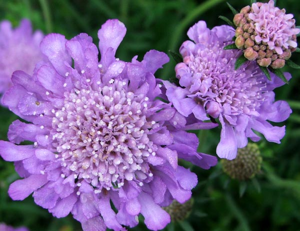 An image of light purple scabious