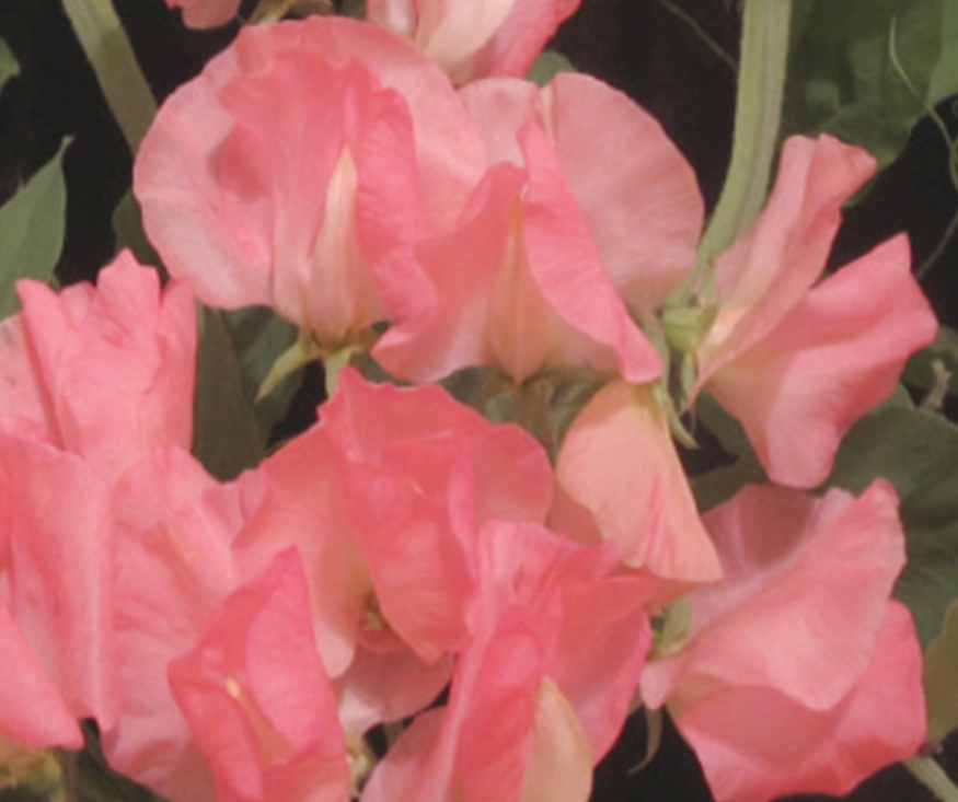 An image of a pink Valerie Sweet Pea