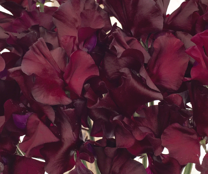 An image of a dark red windsor sweet pea